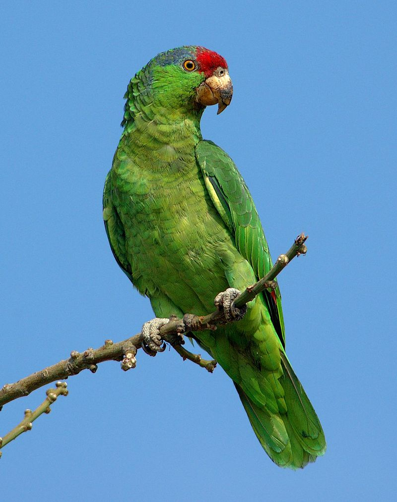 red_crowned_amazon