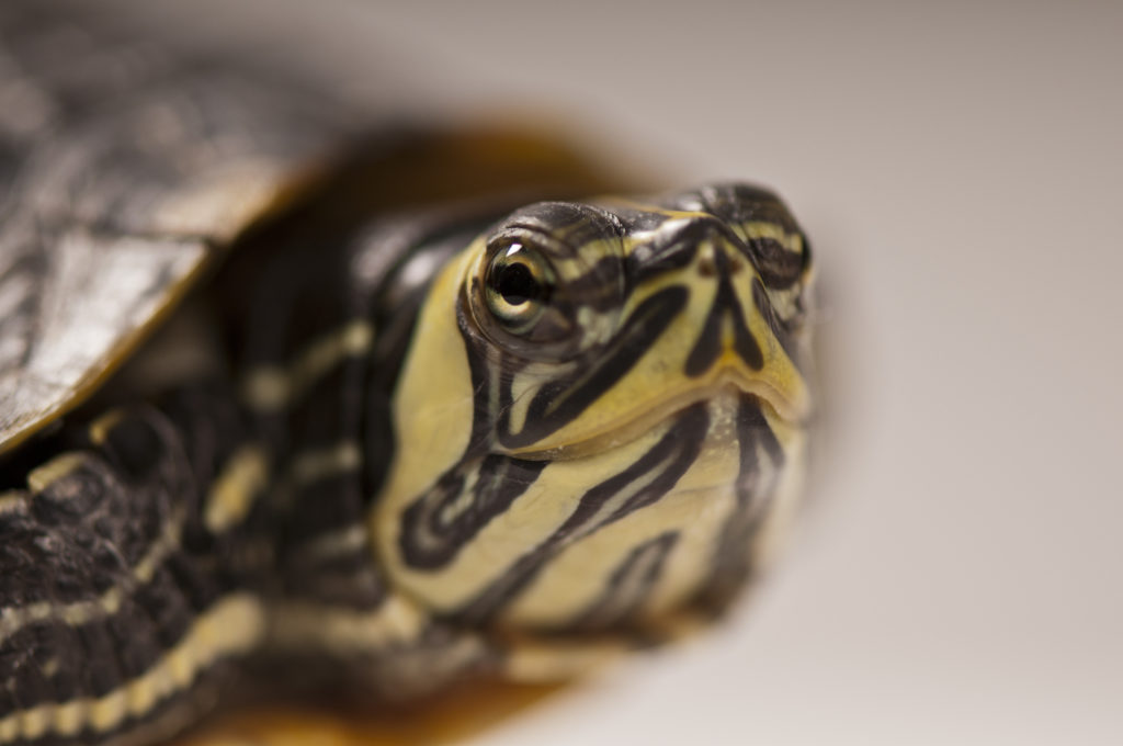ZIMS can be used to fight the illegal turtle trade
