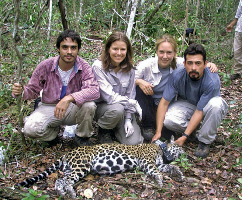 DIf the researchers want to be able to locate a jaguar with tracking devices, they need to sedate the animal with an anesthetic dart. They then measure the animal and fit a tracking collar around its neck (3).  (4) From left: Fernando Colchero, Dalia Amor Conde, Jessica Dyson, Heliot Zarza.