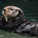 Otterly Valuable: Moving Beyond The Clipboard To Support Conservation Science