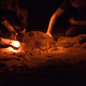 Conservation Programs Of Sea Turtles In São Tomé E Príncipe Islands (Image Credit: ATM)