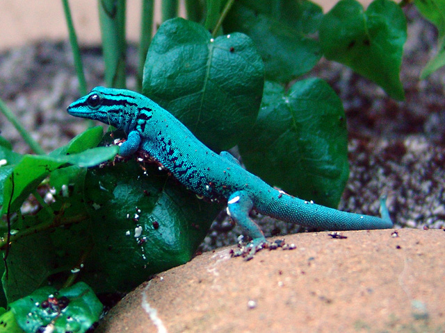 Turquoise dwarf gecko, one of the critically endangered species managed in ZIMS for Studbooks