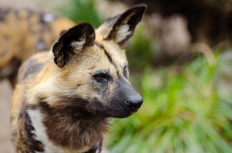 African wild dog / Painted hunting dog, one of the critically endangered species managed in ZIMS for Studbooks