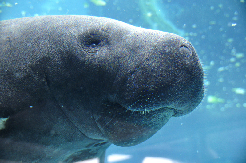 Manatee, one of the endangered species managed in ZIMS for Studbooks
