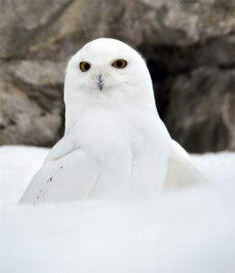 Snowy owl photo by Alex Kantorovich