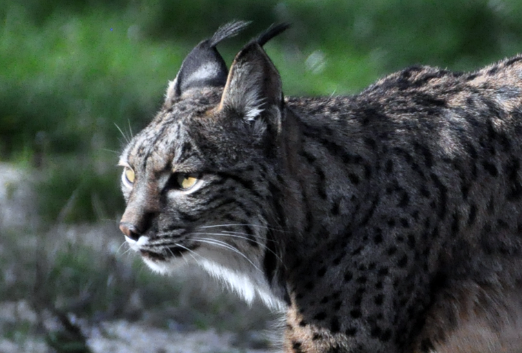 Photo Month Feature: The Elusive Iberian Lynx
