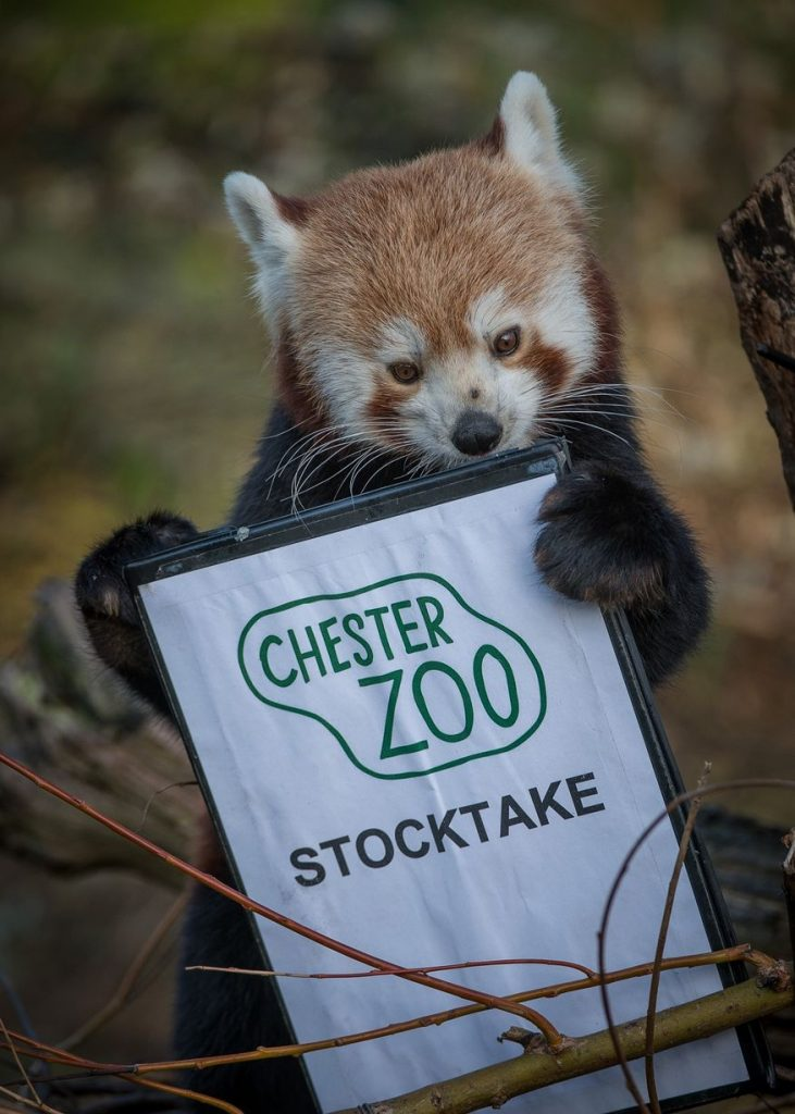 chester zoo counting red panda