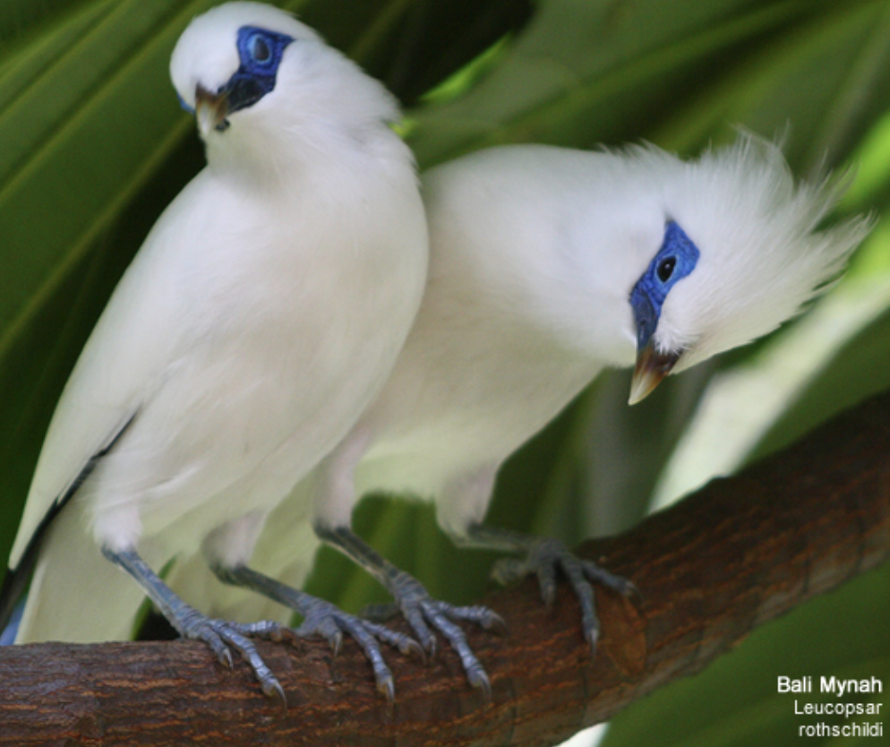 Begawan Foundation's Bali Starling Conservation Project helps to sustain populations of the critically endangered species.