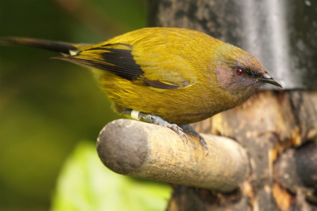 A Bellbird, and endangered bird species that is endemic to New Zealand, leaning down from a yard perch.