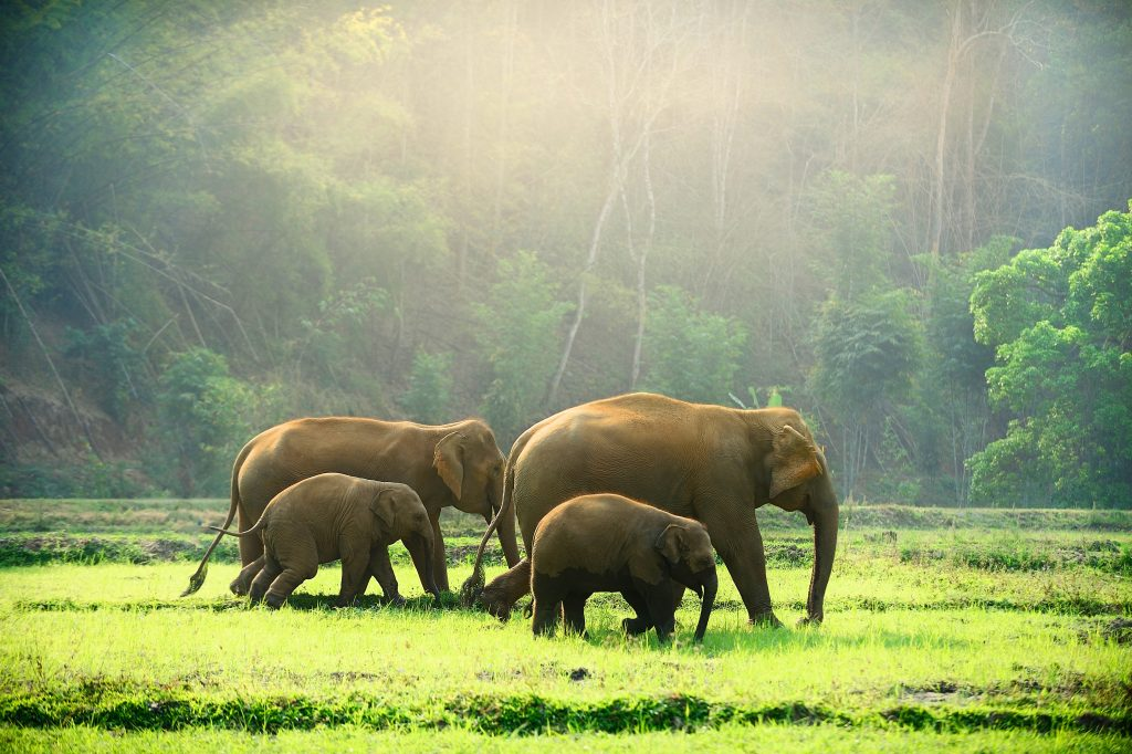 Asian elephant family with cute baby elephant walking through the meadow in the morning.