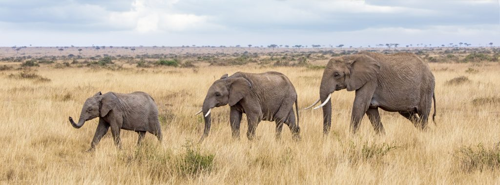 Elehant group walking through the long grass of the Masai Mara, Kenya. The group consists of a younger and older calf plus an adult female.  Popular social media banner proportions.