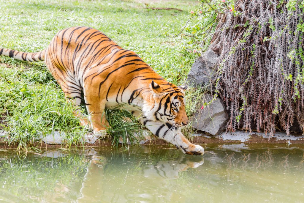 Tiger touching the water