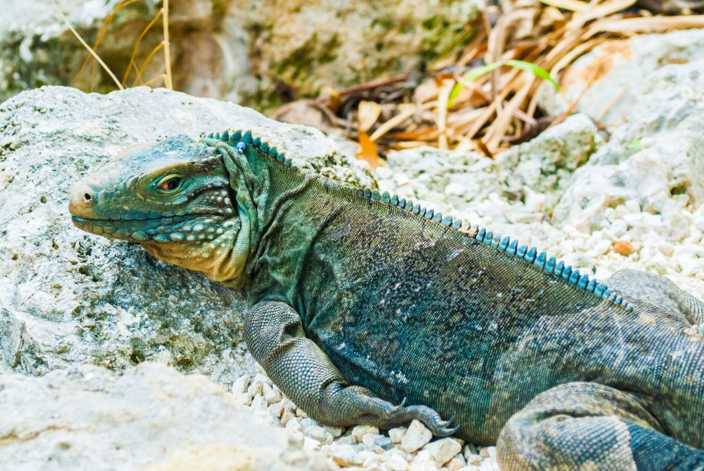 A rare blue iguana has settle into the rocks where he surveys the landscape for food and danger. This creature lives in the botanical gardens of the Cayman Islands