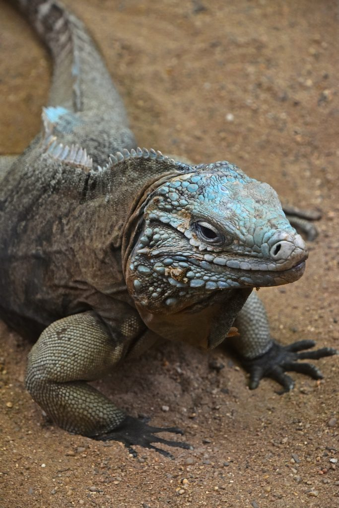 Close up profile portrait of Grand Cayman blue iguana (Cyclura lewisi), high angle view