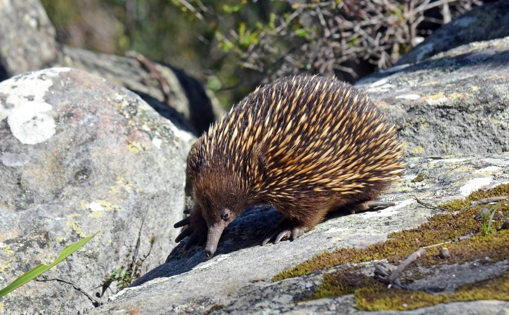 Australian echidna (spiny anteater, Tachyglossus aculeatus) searching for ants on sandstone rocks