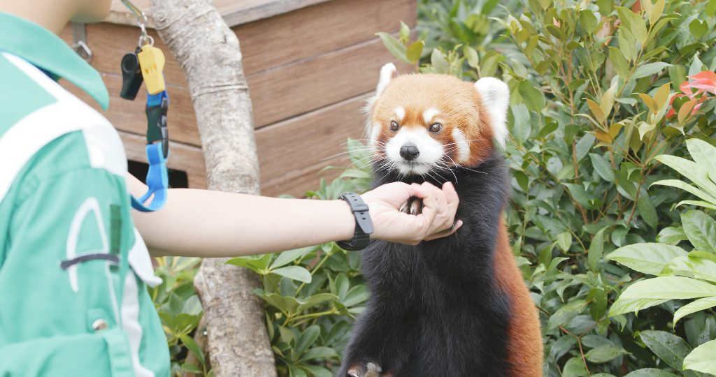 Ocean Park, Hong Kong, 09 December 2017:- Red panda giving hand to trainer