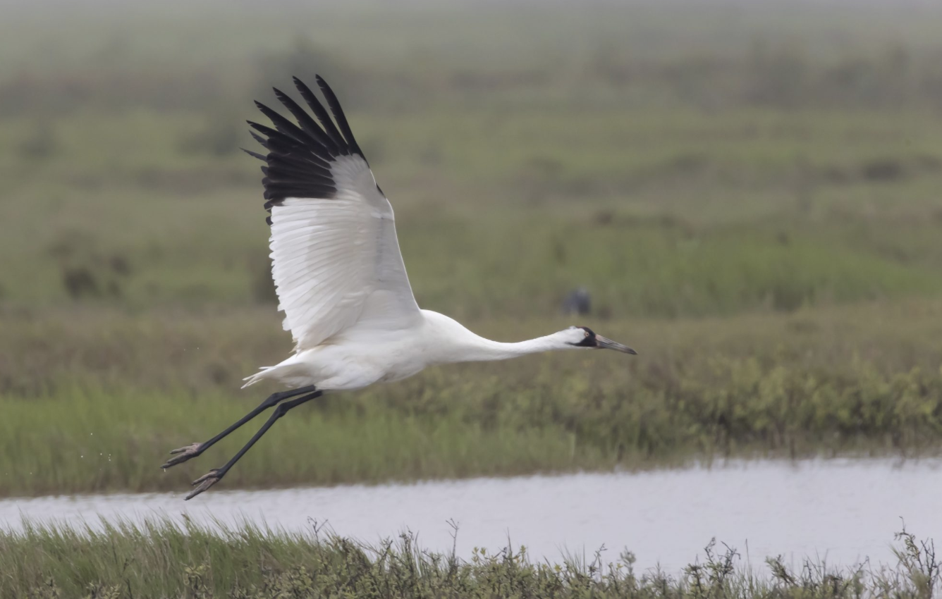 Member News: Whooping Cranes Released To Coastal Habitats