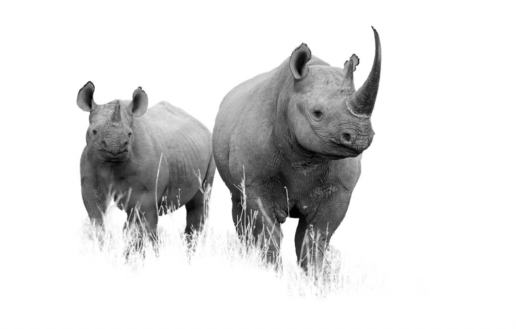 Artistic black and white  photo of wild Black rhinoceros, Diceros bicornis. Mother and calf, isolated on white background with touch of environment. South Africa, KwaZulu Natal.