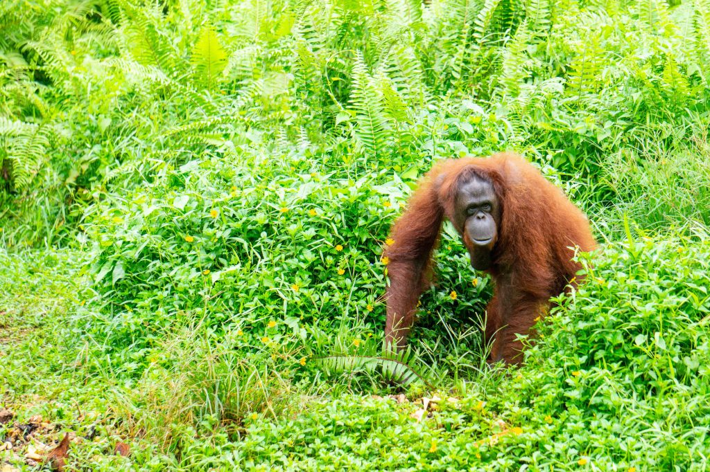 Female orangutan Annie at the Borneo Orangutan Survival Foundation sanctuary in Samboja, Kalimantan, Indonesia. Annie likes her vegetables.