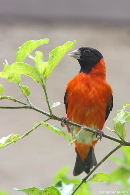 Wildlife Conservation: Refuge For Endangered Red Siskin Songbird Receives Species360 Membership Grant