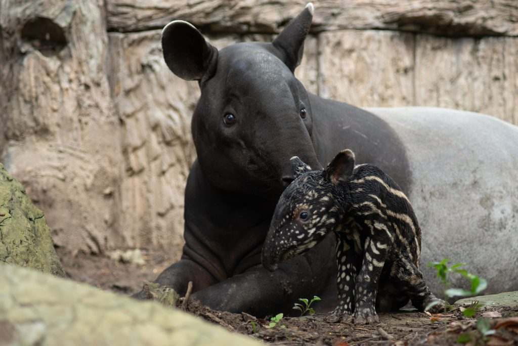 The first hour of the birth of the tapir