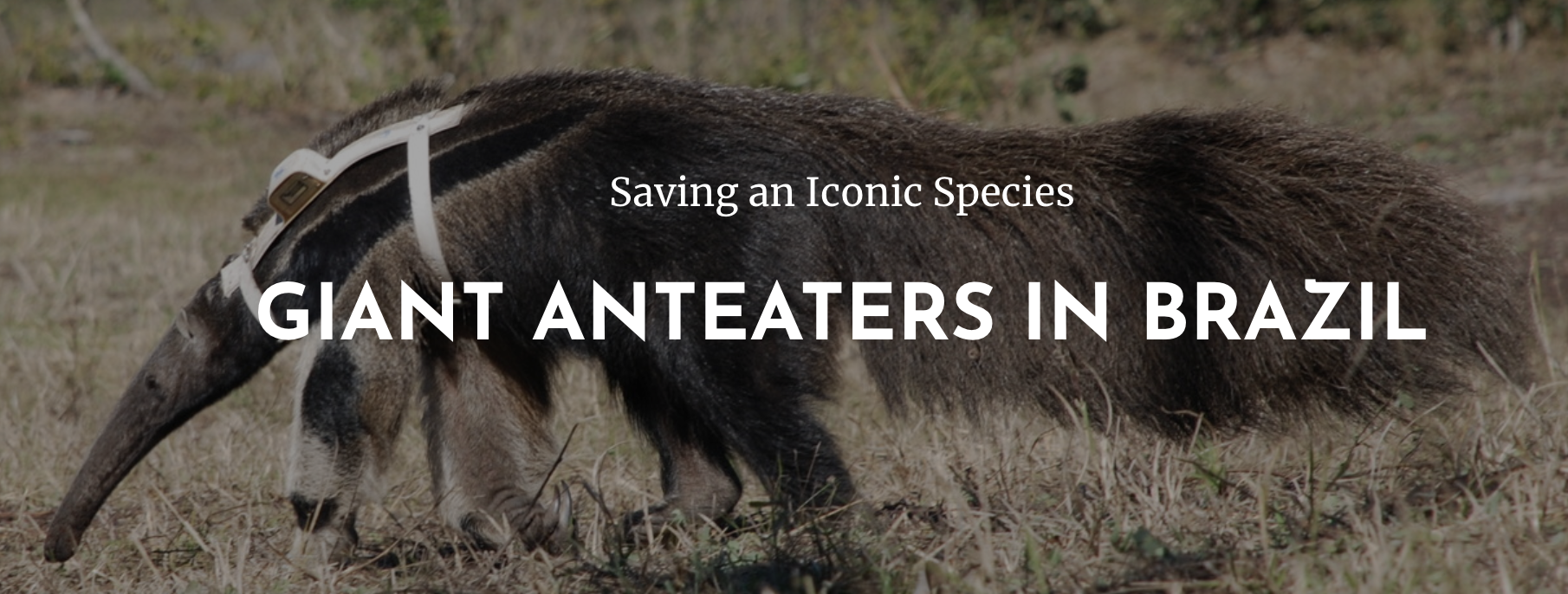 Member Anniversaries: Giant Anteaters Project (Brazil)