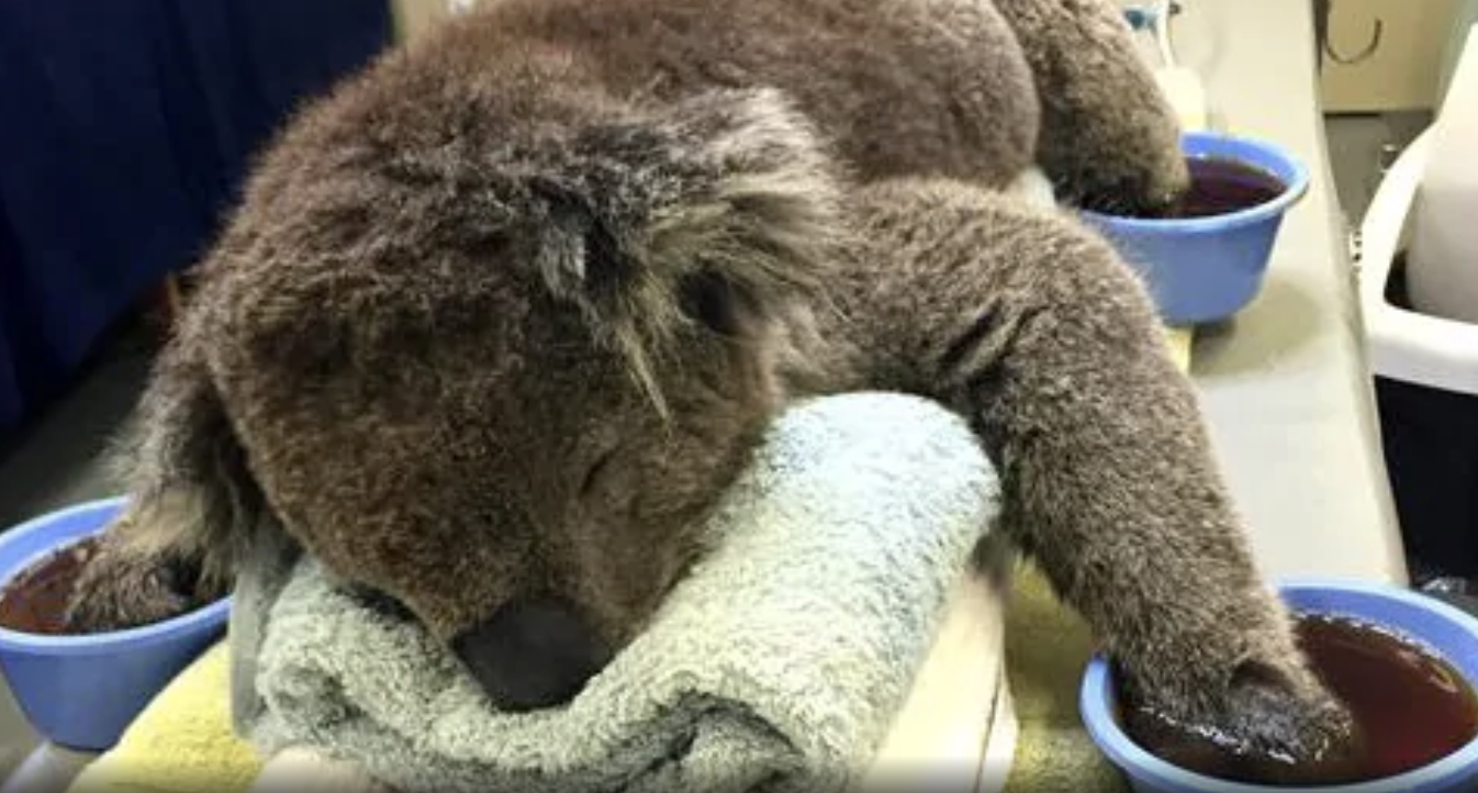 Queensland Koala Rescue And Conservation Centers Join Species360