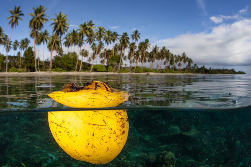 A coconut husk floats at the surface just off a beach on Guadalcanal in the Solomon Islands. This remote, tropical area is known for its extraordinary marine biodiversity.