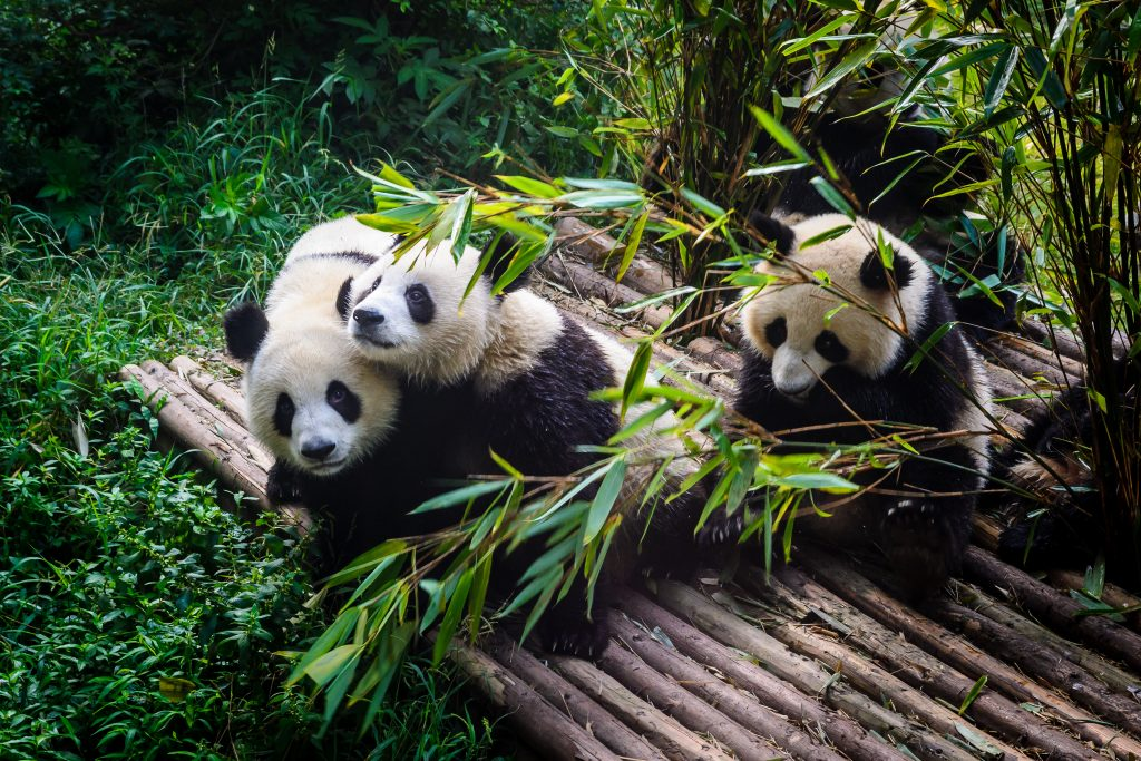 Pandas enjoying their bamboo breakfast in Chengdu Research Base, China