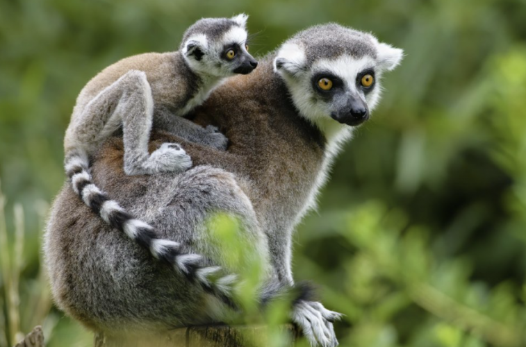 Researchers Use Species360 Data To Study Reproduction In Primates