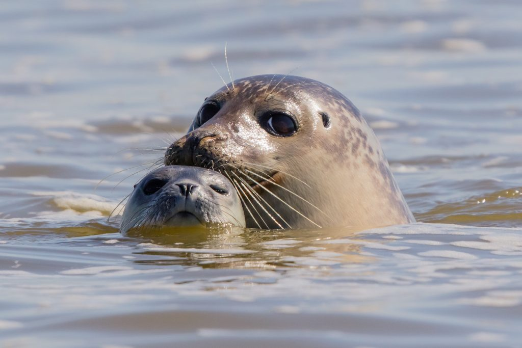 Seals in Baie de Somme, a large estuary in the Picardie région of France.