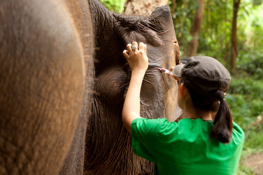 The veterinarian collecting blood sample from ear vein vessel of Asian elephant