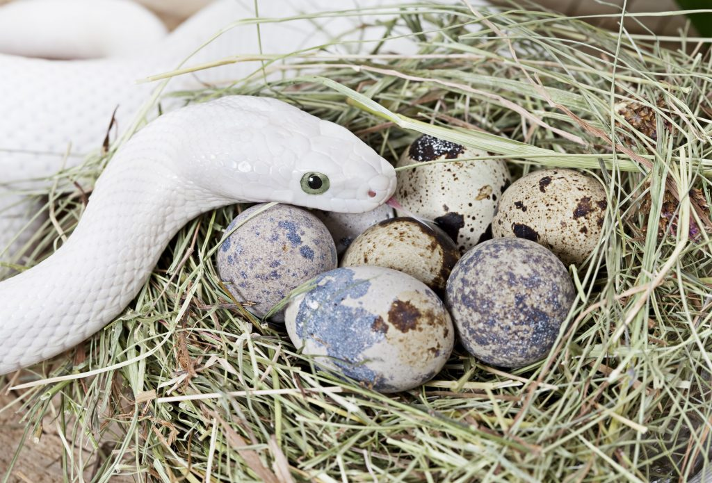 White Texas rat snake on a clutch of eggs