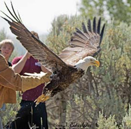 New Species360 Member Teton Raptor Center Serves As Critical Base For Raptor Conservation Across Vast Western Region Of The United States